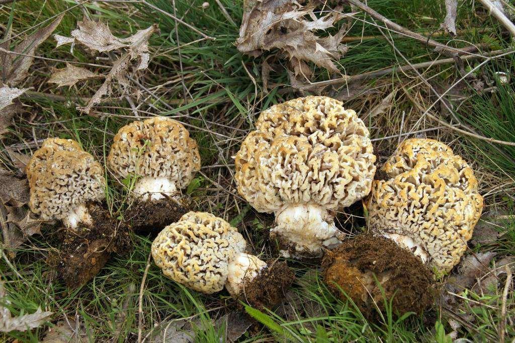 Гриб Сморчок – когда собирать и где искать главный гриб Весны