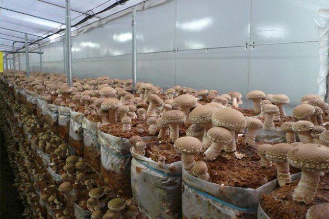 Выращивание шиитаке на приусадебном участке - легко и просто