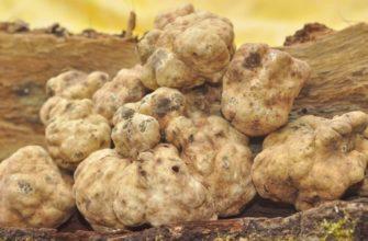 Трюфель гриб – ароматное земляное сокровище