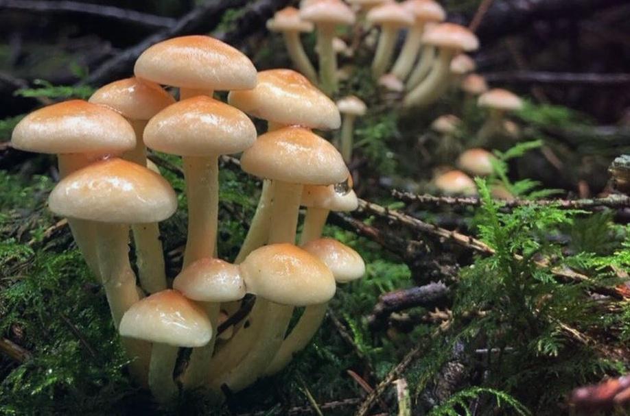 Ложные Опята – маленькие лесные обманщики