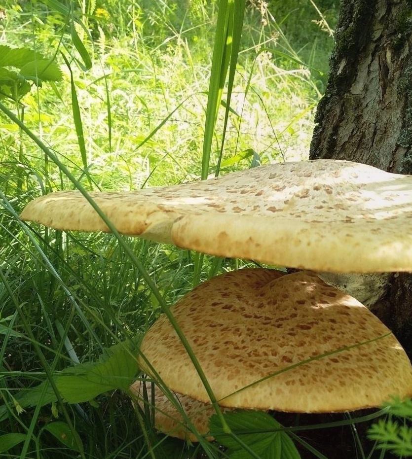 Трутовик Чешуйчатый – пятнистый древесный деликатес