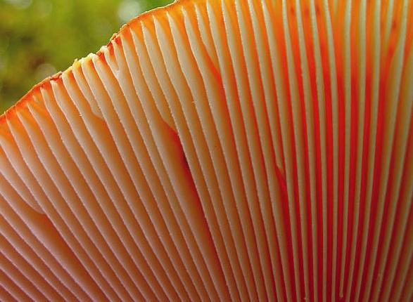 Трубчатые и Пластинчатые Грибы – разные на вид, единые по сути