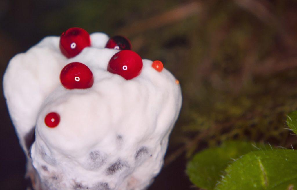 Гриб Кровавый Зуб – лесной пирожок с кровью
