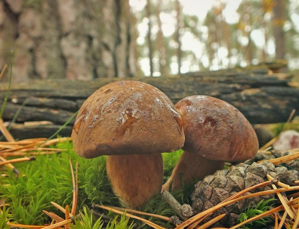 Польский Гриб – вкусный житель сосновых лесов