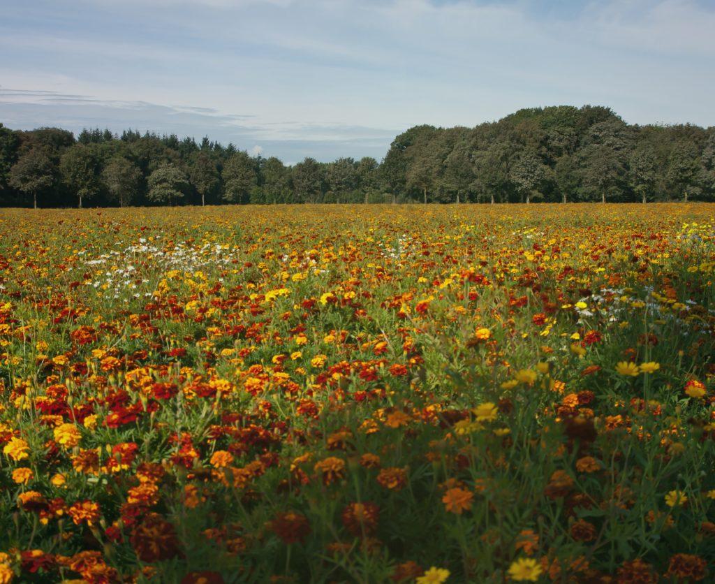 Гриб Синеножка – закаленная луговая красавица