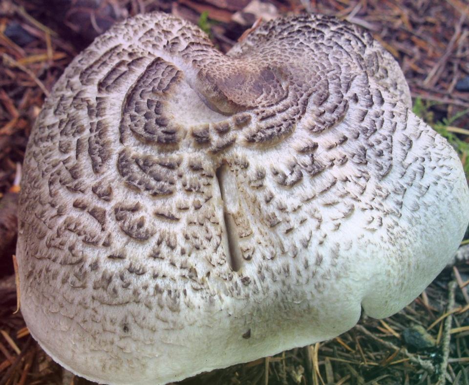 Тополевая Рядовка – тайный осенний друг тополей