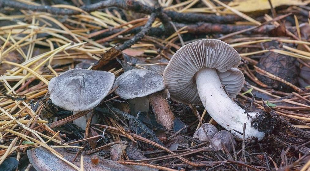 Серая Рядовка – главный гриб поздней осени