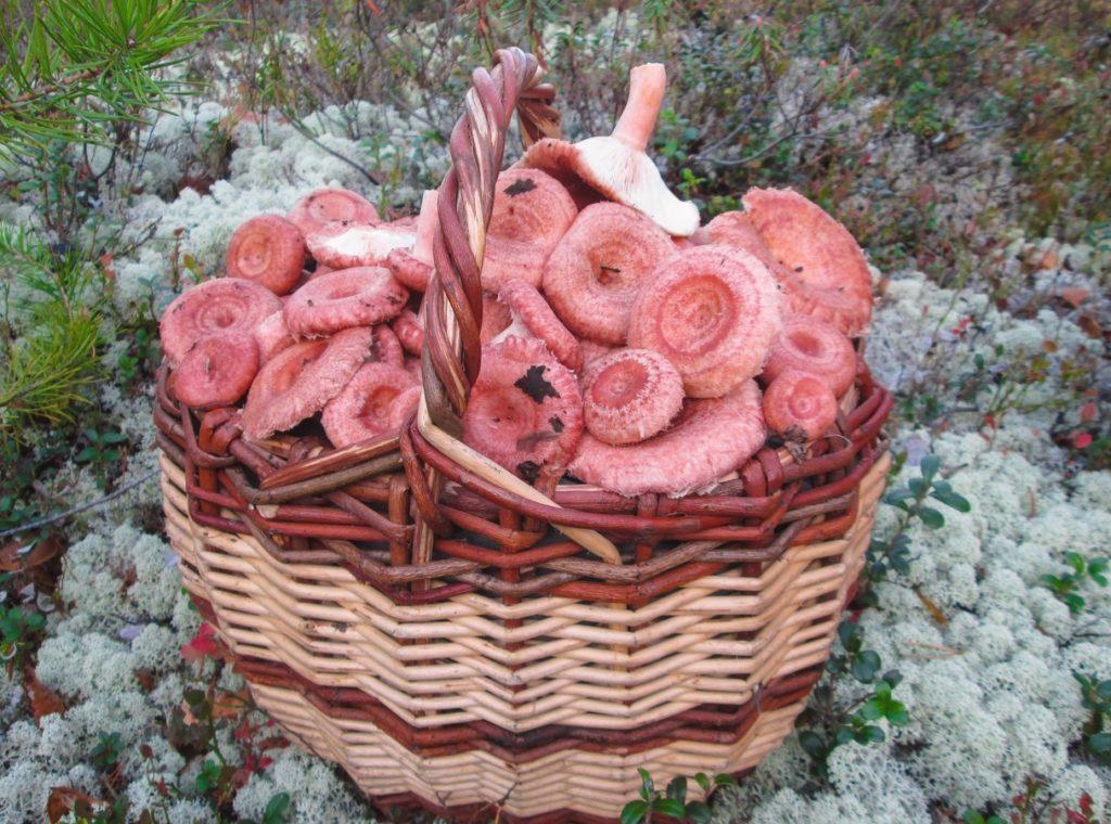 Как правильно солить и мариновать грибы Волнушки