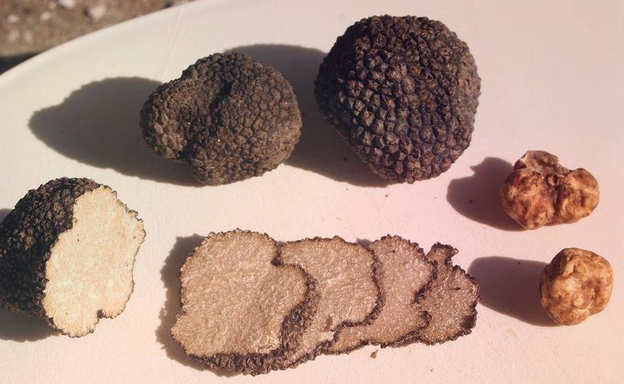 Белый и черный трюфель не огранённые бриллианты царства грибов