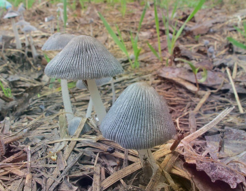 Навозник обыкновенный гриб с невкусным именем