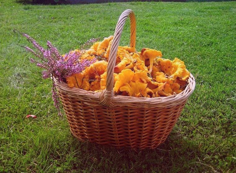 Как вкусно, разнообразно и недорого приготовить грибы лисички