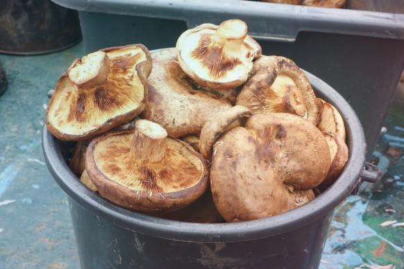 Свинушки – самые спорные грибы русского леса