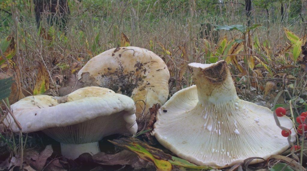 Скрипница гриб почти как груздь, только полезнее
