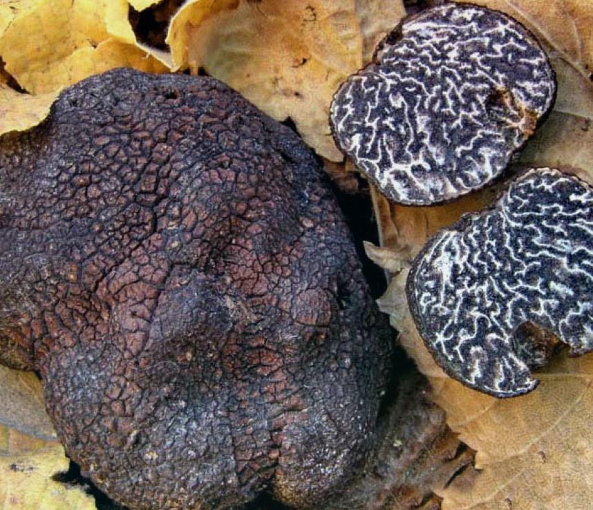 Кто помогает искать грибы трюфели и где они растут
