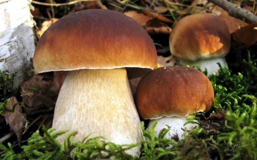 Белый гриб – король грибного царства