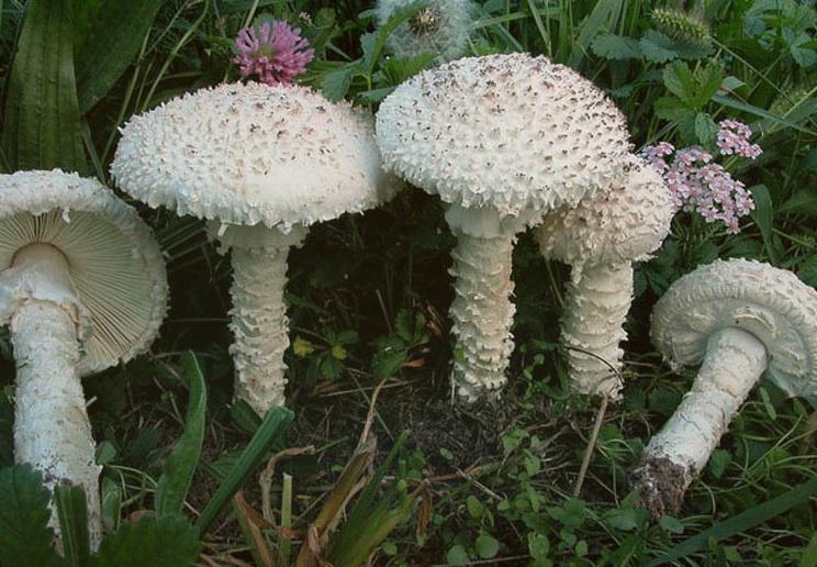 Мухомор Виттадини несколько белых грибов на фоне травы и цветов