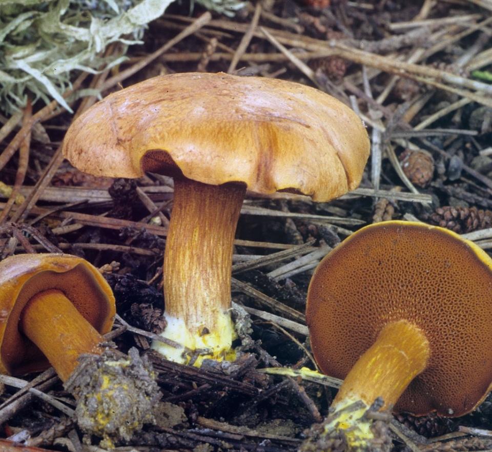 Масленок Перечный Chalciporus Piperatus в траве