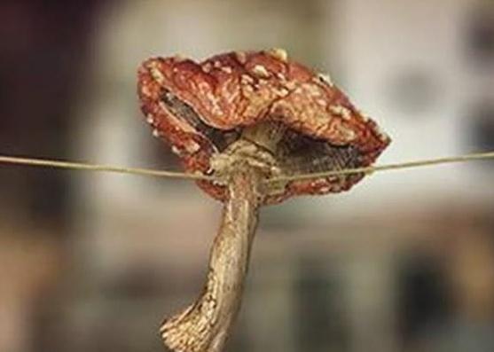 Сушеный мухомор перестаёт быть ядовитым?