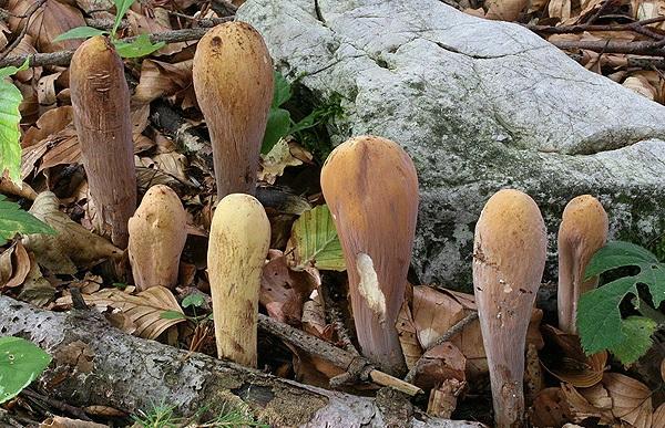 Clavariadelphus-pistillaris_02.jpg