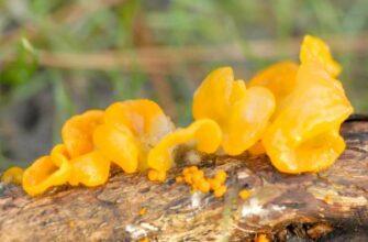 Дрожалка оранжевая (Tremella mesenterica) фото и описание