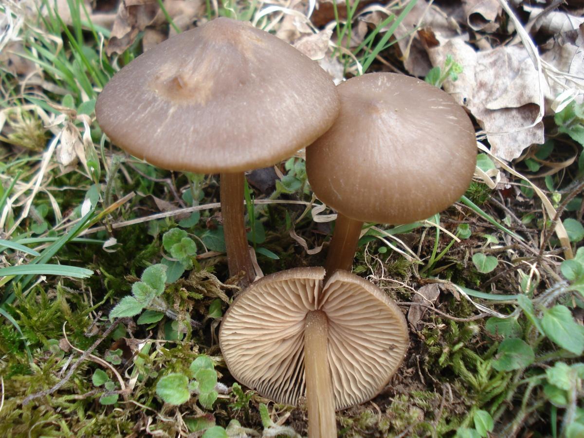 гриб весенний