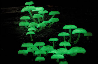 Светящиеся грибы • Алексей Опаев • Научная картинка дня на «Элементах» • Биология, Микология