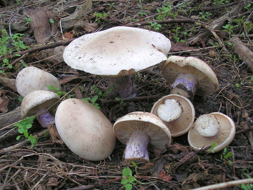 Рядовка лиловоногая: узнаваемый представитель грибного царства