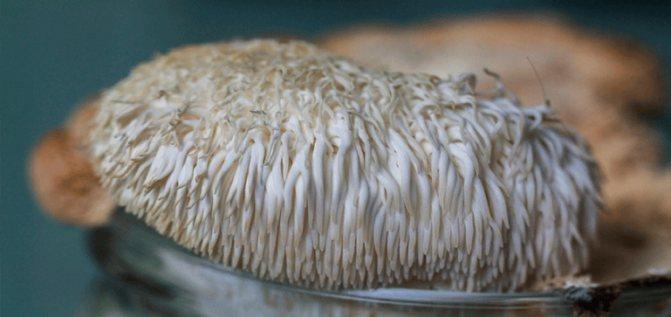 Ежевик гребенчатый: где произрастает и можно ли употреблять его в пищу