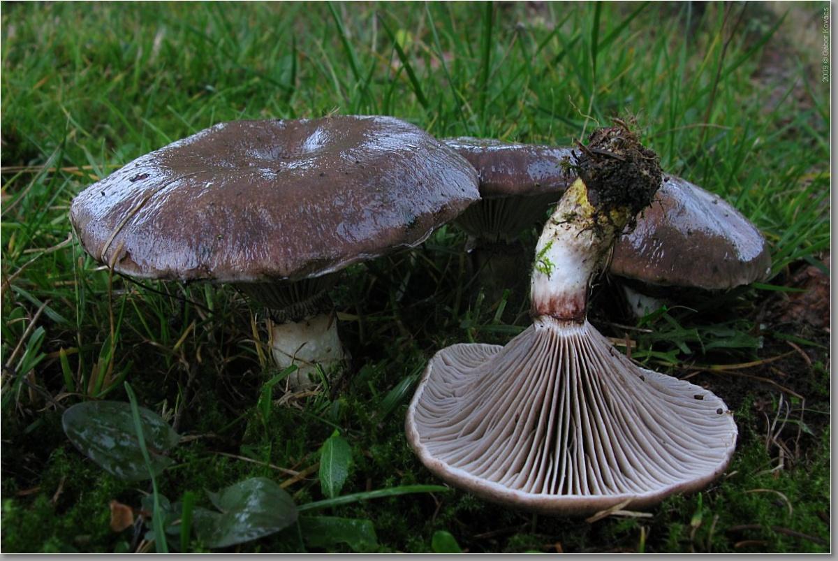 Гриб мокруха, его разновидности, съедобность и свойства