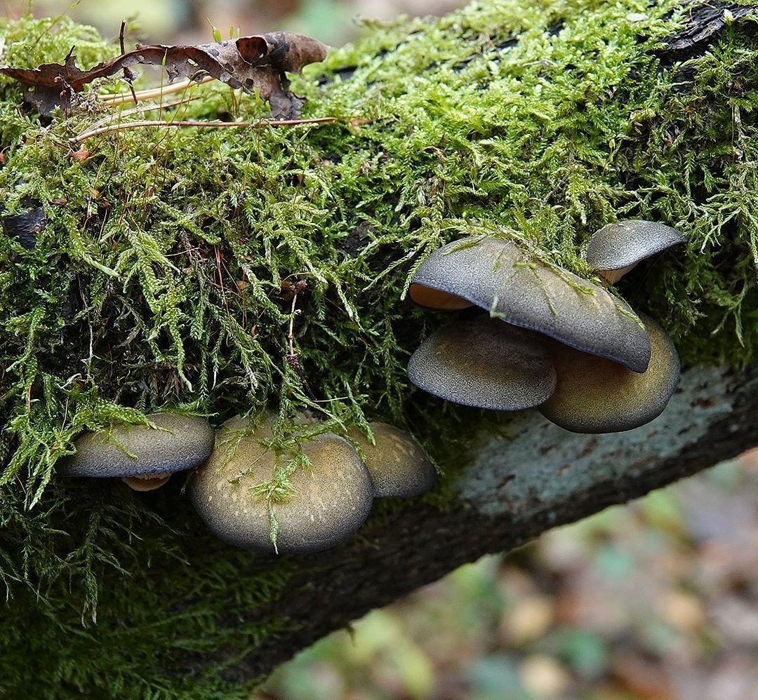 Вешенки: польза и вред грибов, которые все любят