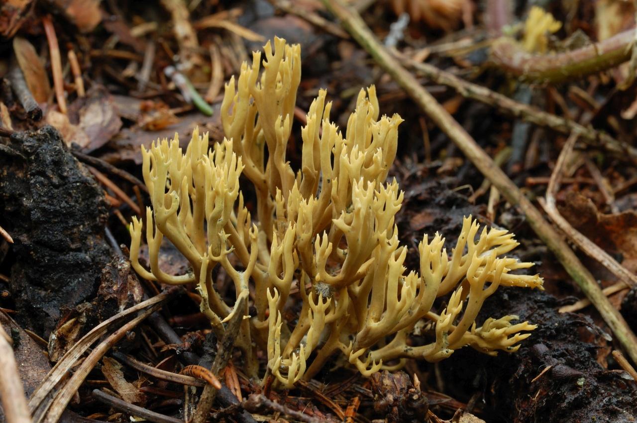 Коралловый гриб – съедобное чудо природы