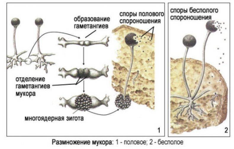 Где произрастает гриб мукор и опасен ли он?