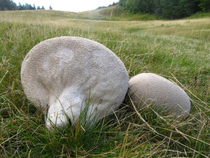 Где произрастает гриб головач и можно ли употреблять его в пищу?