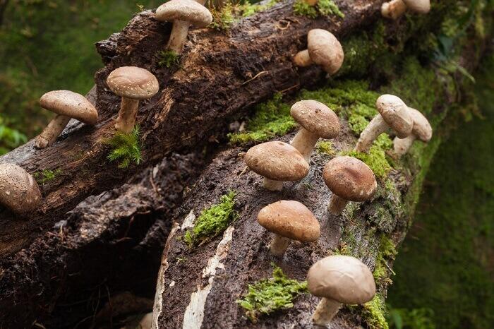 Описание, польза и вред, ареал распространения и съедобности китайских грибов