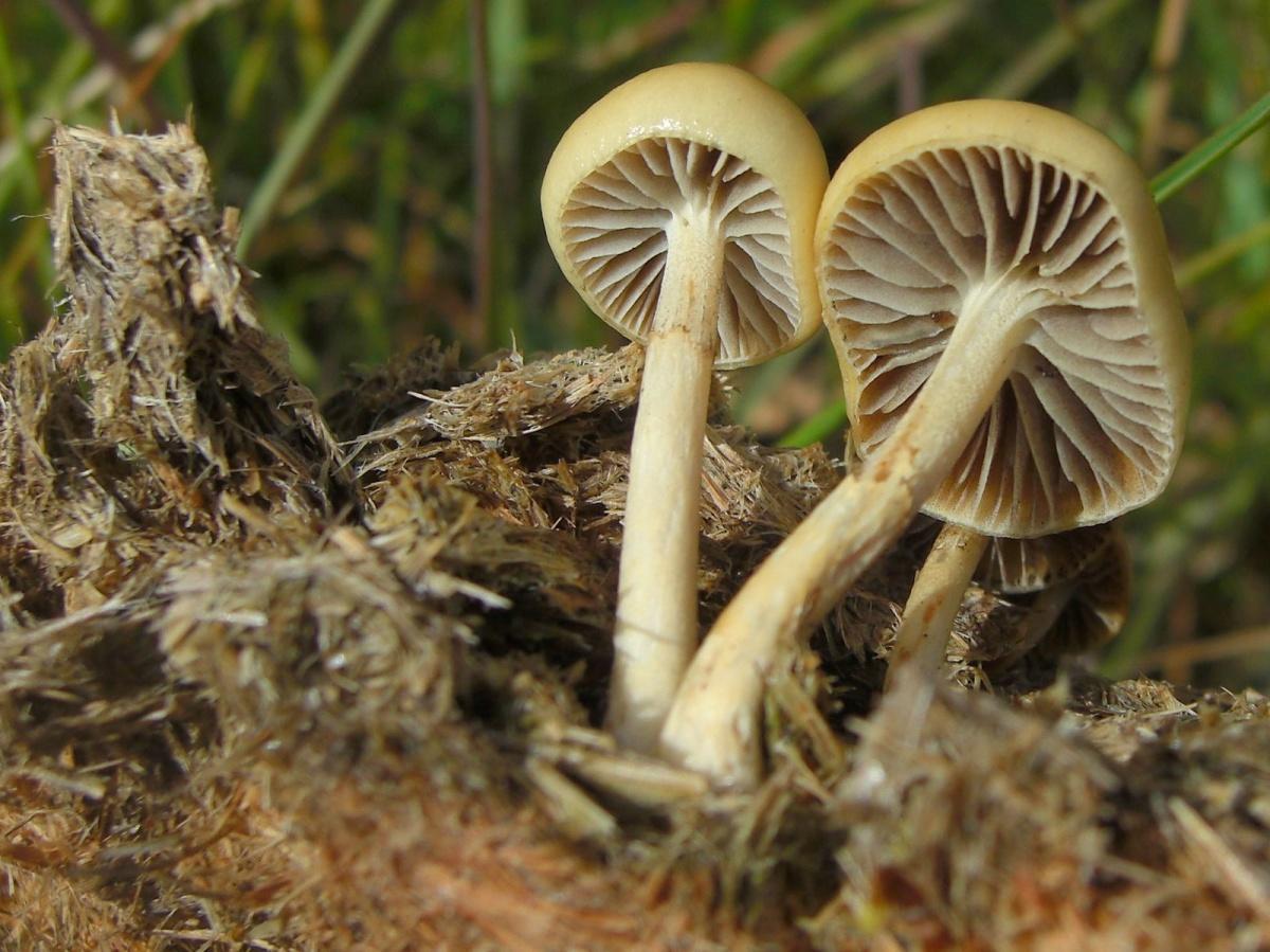 Привлекательный, но несъедобный гриб корончатая строфария