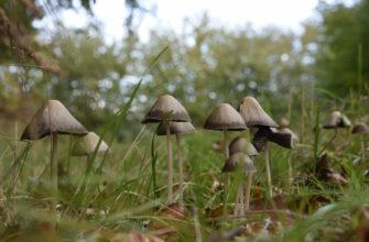 Панэолус каемчатый - съедобный галлюциноген грибного царства