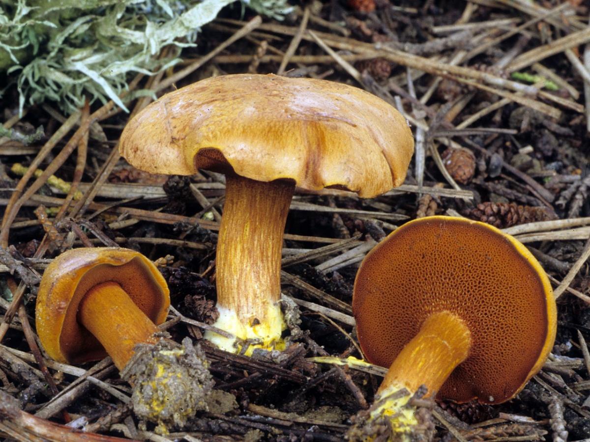 Перечный гриб: необычный маслёнок с приятной остротой