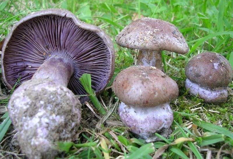 Яркий желтый паутинник и его грибы собратья
