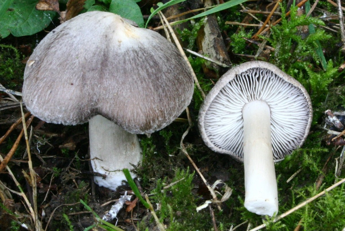 Рядовка землистая – землянисто-серый, полезный и ароматный гриб: где искать и как готовить
