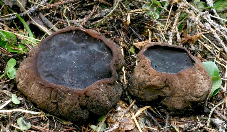 Саркосома шаровидная: описание и полезные свойства земляного масла