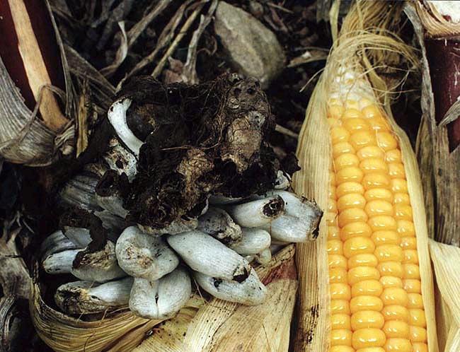 Где произрастает головня гриб и является ли он паразитом?
