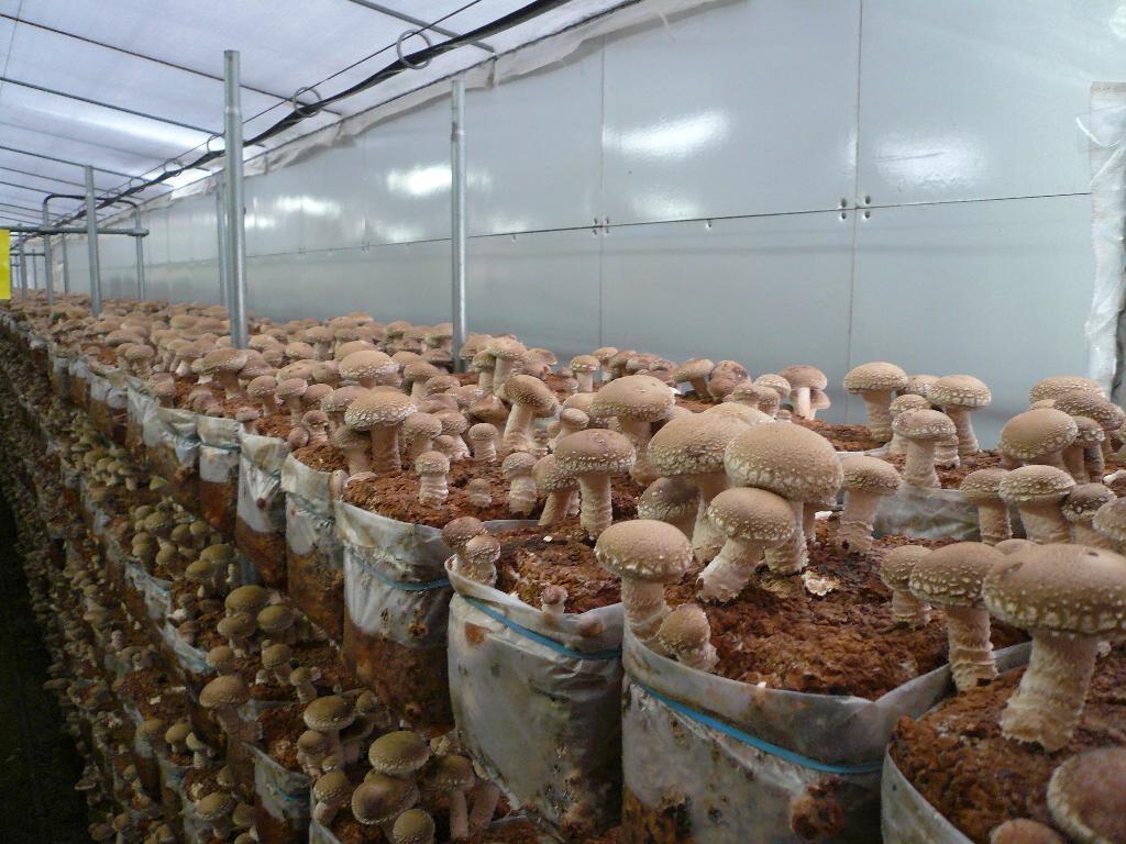 Правильное выращивание грибов в домашних условиях, способы и различные технологии