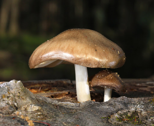 Олений гриб. Его свойства и отличия от ивового, белого, благородного и синеногого плютея