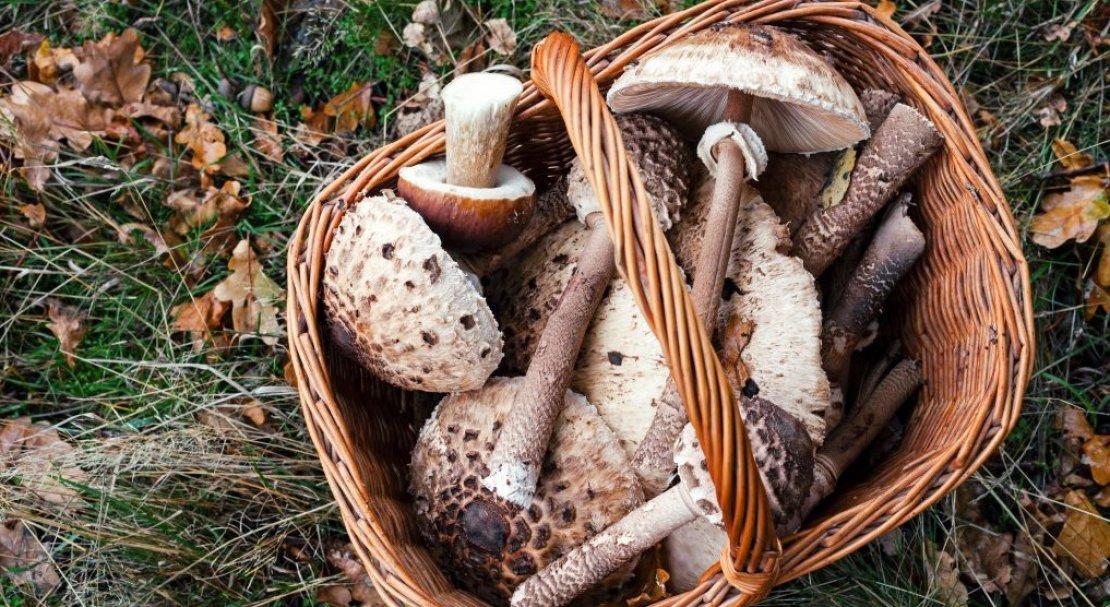 Гриб курятник: где произрастает и можно ли употреблять его в пищу?