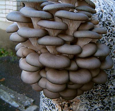 Что такое мицелий грибов и как его выращивать?