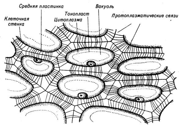 Особенности, форма строения и химические составы клеточных стенок