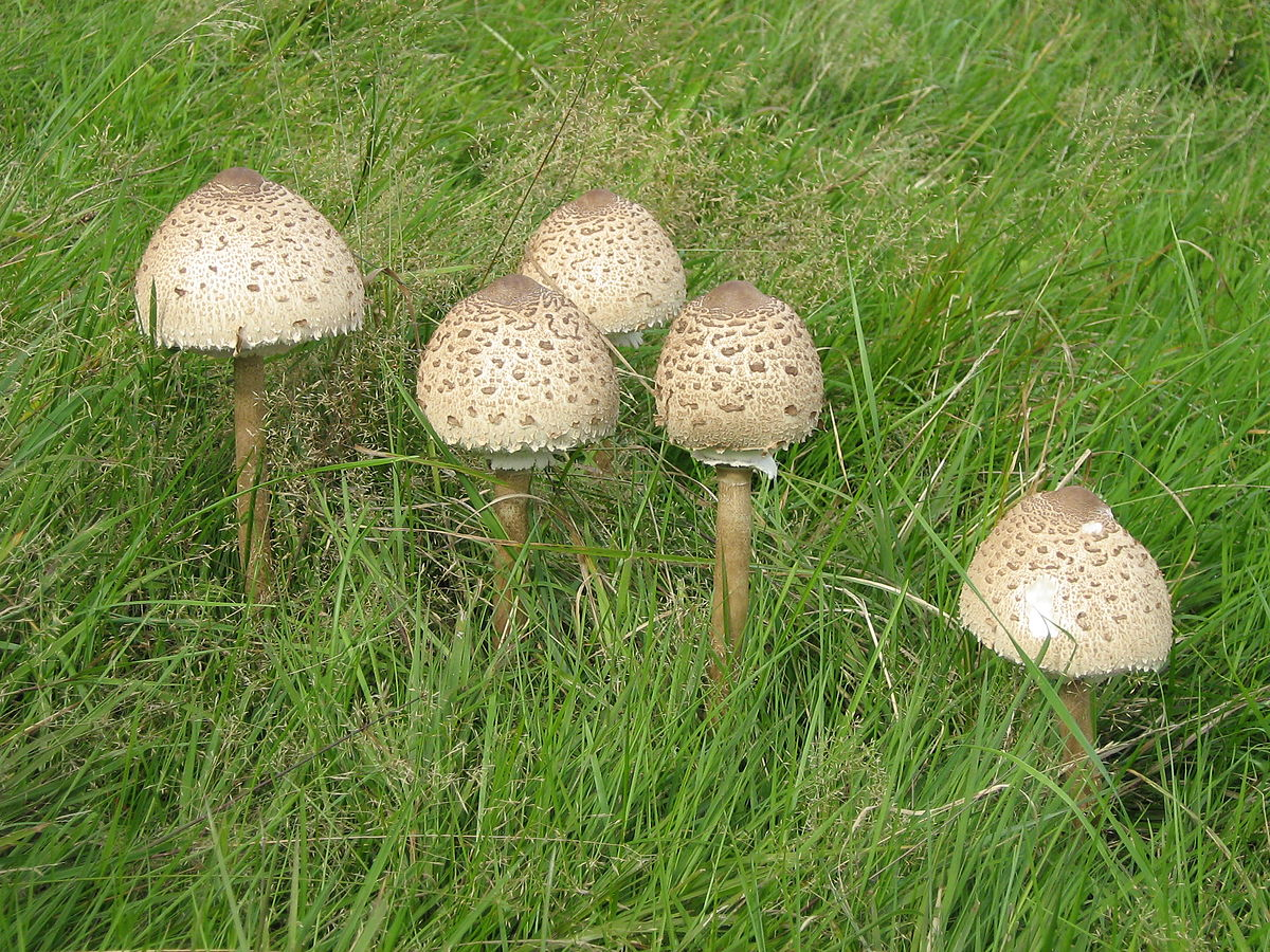 Гриб-зонтик: описание, разновидности и съедобность