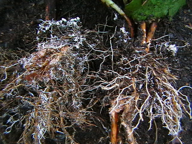 Почему почву в лесопосадках заселяют микоризными грибами?