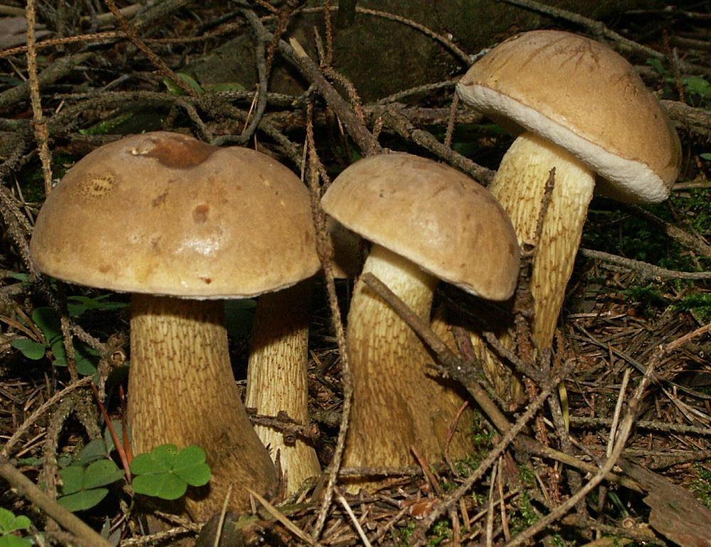 Какие грибы растут в сосновом лесу?